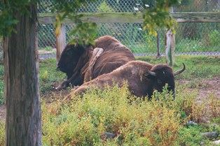 ZOO -1 - Bison065 COURTESY OF DAVE GOLDMAN
