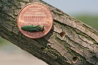 Emerald Ash next to penny