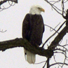 Eagle on Fox River